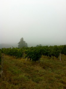 le brouillard enveloppant la vigne